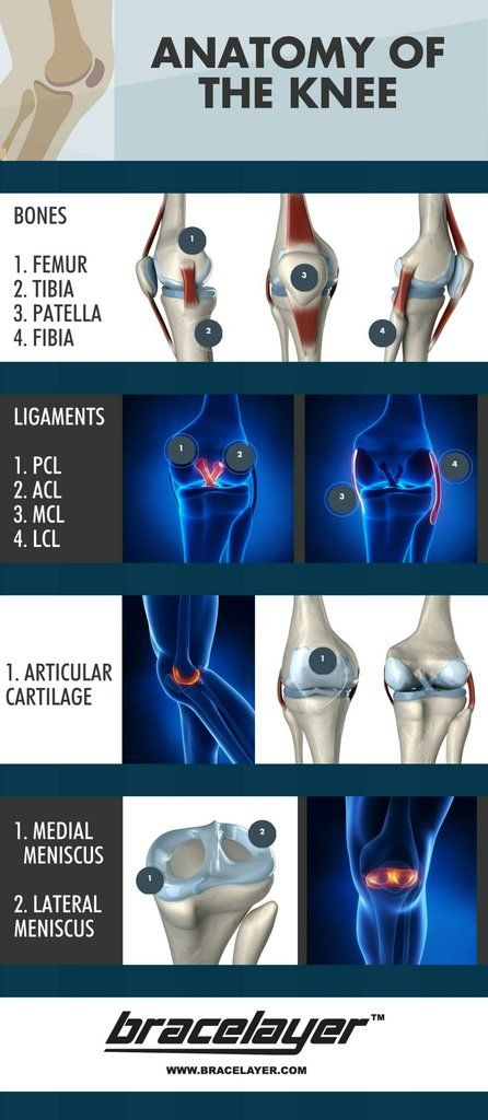 Anatomy of the Human Knee - Infographic The knee is one of the largest and most important joints in the human body as it connects the upper (femur) and lower (tibia) leg. The muscles that move the knee are connected by tendons to the knee bones. In addition to these bones, the joint is comprised of ligaments, which connect the knee bones and provide stability, as well as menisci and cartilage which function as shock absorbers and allow the joint to move with less friction. The main ligaments…