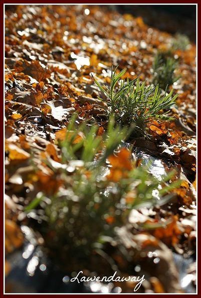 Lawenda jesienią #lawendaway #photo #fotografia 1