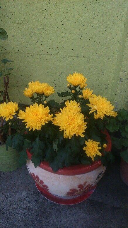 Mis crisantemos