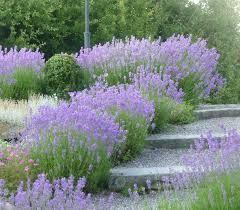 Lavendel. Behöver klippas ner varje år. I övrigt underhållsfri. Bra för insekter!