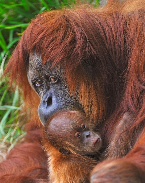 Please sign the petition http://www.change.org/en-AU/petitions/mandatory-labelling-of-all-oils-on-australian-products Help stop the destruction of the habitats of the critically endangered Orangutan.  They are entirely dependent on the forest for their survival. Wild populations are being decimated We can all help by refusing to buy products containing palm oil
