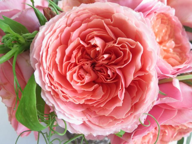 Pink Antique Garden Rose