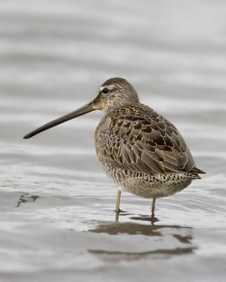 Long-billed Dowitcher, Limno-dromus scolopaceus. Breeds in wet tundra in the far N of N.A. & E Siberia. They nest on the ground, usually near water