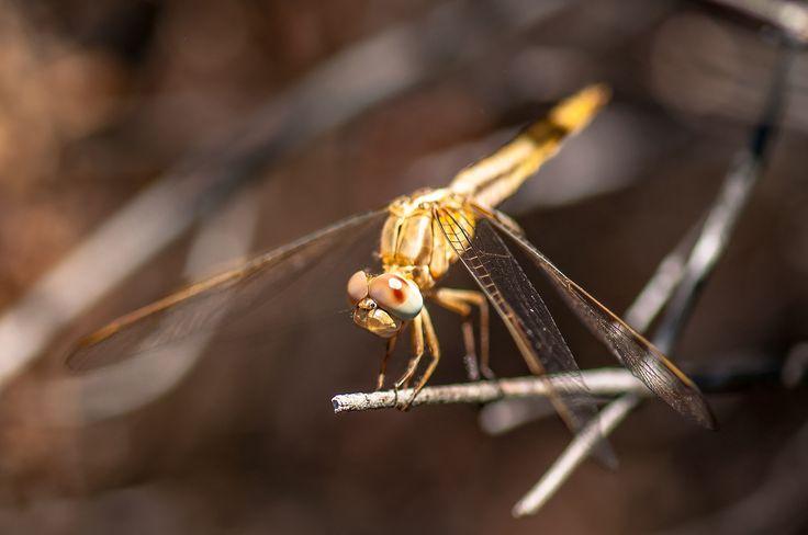 anisoptero by Graziella Serra Art & Photo on 500px