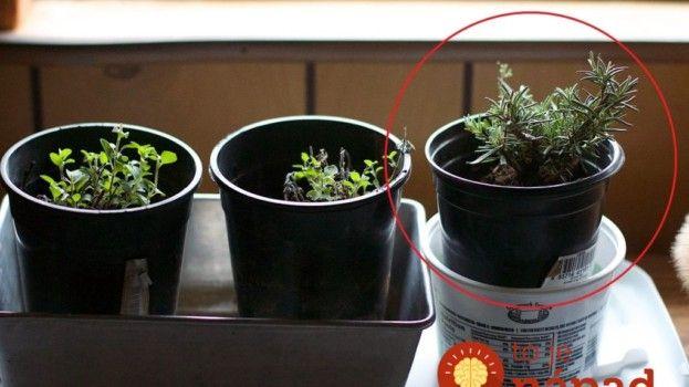 Najjednoduchší spôsob, ako rozmnožiť rozmarín + dôvody, prečo je táto bylinka…