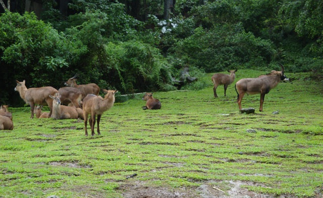 The barbary sheep at Taman Safari Indonesia (Safari Zoo) ~ Puncak (Bogor), Indonesia. Let's go to the Zoo ...  http://wp.me/p1VkQt-rY
