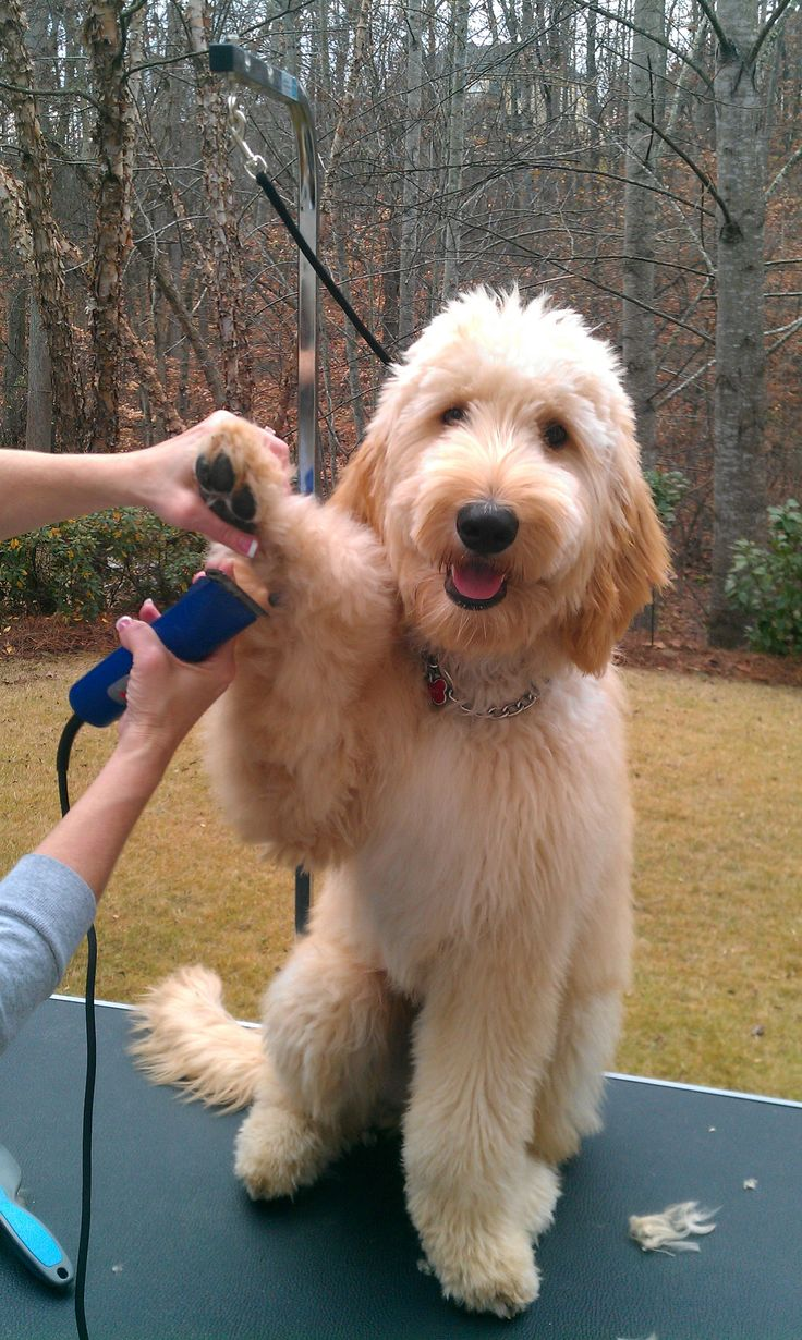 goldendoodle haircuts styles he his haircut such a boy goldendoodle 1521