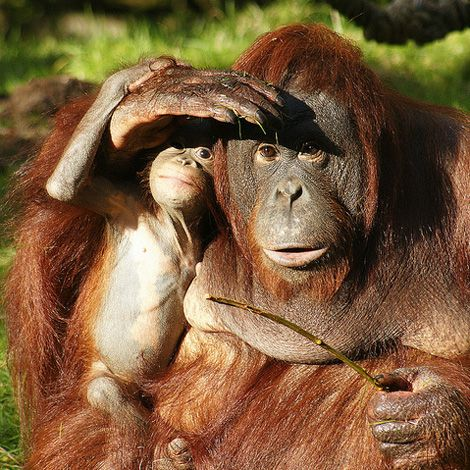 "Orangutans ""a conservation emergency."" Habitat destruction caused by the massive expansion of palm oil plantations."