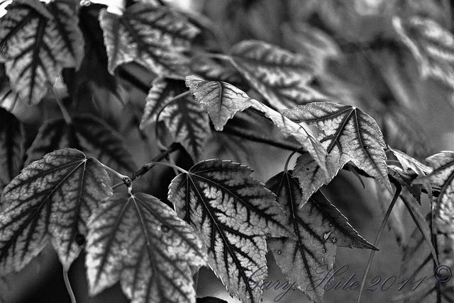 B Leaf Veins by Tiger'sEye, via Flickr