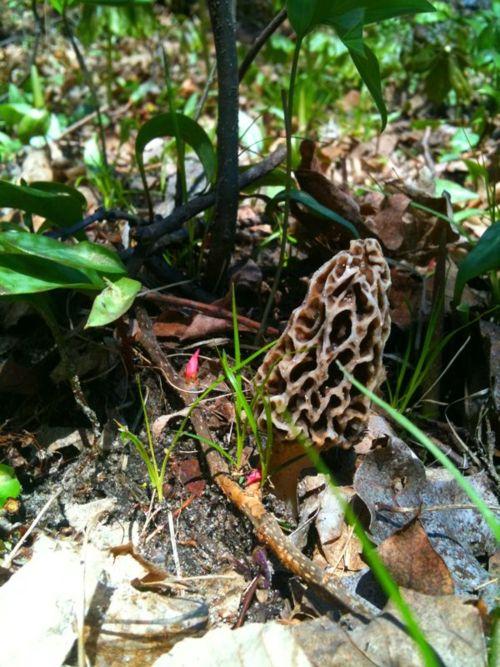 Foraging for Morels. These mushrooms taste like chicken almost when you fry them. Soooooooo yummy! !