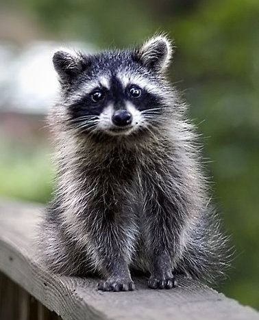 Rocket from Guardians of the Galaxy!