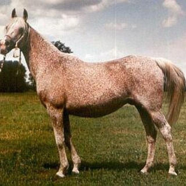 Bandola (PL) 1948 Queen of Poland. Pure Polish mare. Bred by Albigowa Stud, Poland. Witraz {Ofir x Makata by Fetysz} x Balalajka {Amurath Sahib x Iwonka III by Ibn-Mahomet}