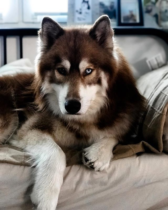 Magnificent Die Couch Gehort Mir Siberianhusky Malamute Dog Husky Dogs Cjindustries Chair Design For Home Cjindustriesco