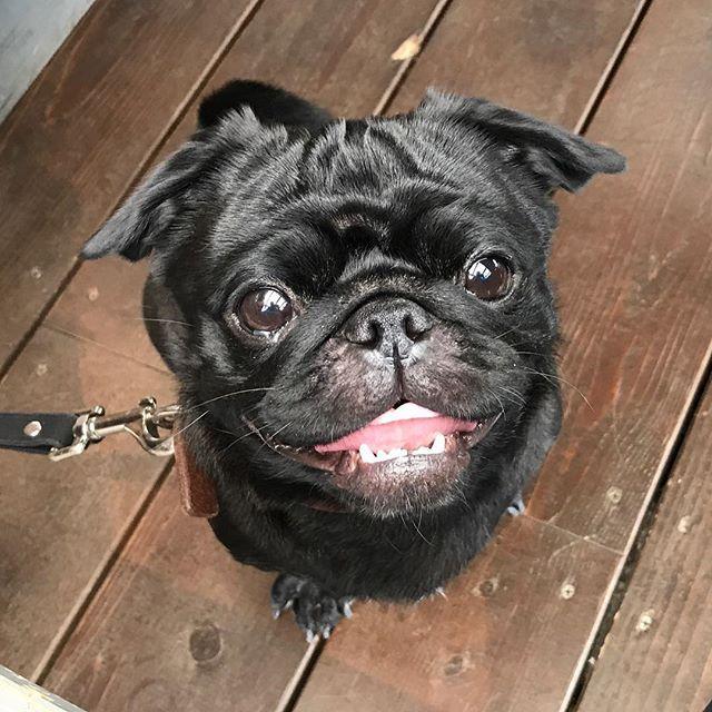 ニコニコ〜♫嬉しそうだね♡ . #frenchbulldog #frenchbulldogpugmix #pug #フレパグ#ミックス犬#フレンチブルドッグ #フレブル #パグ#ぶちょーと聖子#chihuahua #チワワ #いぬ #dog #ブヒ #鼻ぺちゃ#犬 #犬バカ部#黒パグ#愛犬 #わんこ#笑顔