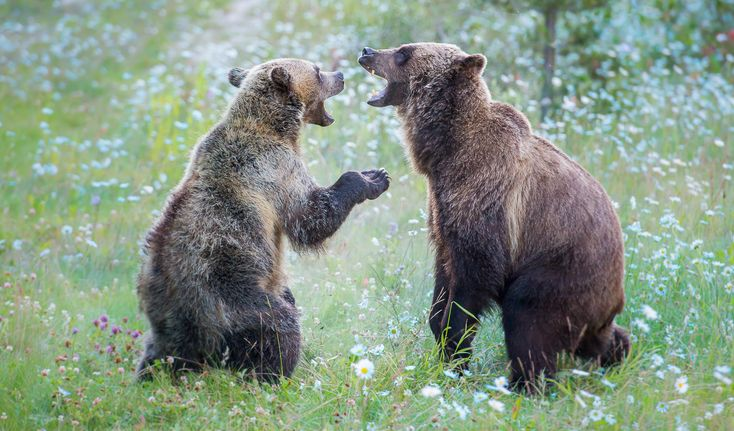 Grizzly bears 142 & 126 in Banff National Park, Alberta