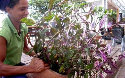 Handama (Okinawa Spinat) (Pflanze) - Gynura crepioides |    Kräuter für Balkon u. Terrasse |   Nach Verwendung | Rühlemann's Kräuter und Duftpflanzen