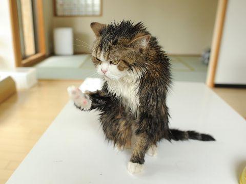Maru is wet. Wet kitty.