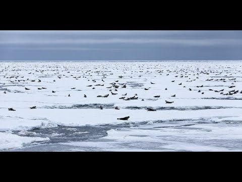Mysterious Event In Russia's Arctic: Thousands Of Seals Surround Drilling Rig
