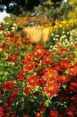 383072 - Chrysanthemum (Chrysanthemum indicum 'Bronzeteppich')