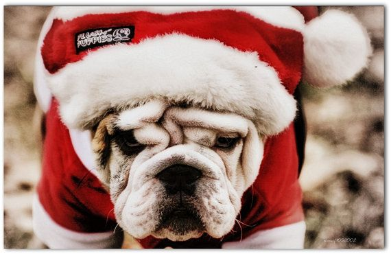 Adorable English Bulldog Puppy 5x7 Christmas Card!!    Inside Message on top: Dont be a GRINCH    Inside Message on bottom: During this holiday season   Merry Christmas    This listing is for a Single Card only ~~ no frames or matting.    All digital photos and/or artwork in this gallery are the property of snowy4052002/Jodi Waskosky, and are All Rights Reserved.    Unauthorized Use, copy, editing, reproduction, publication, duplication and distribution of the digital photos, or any portion…