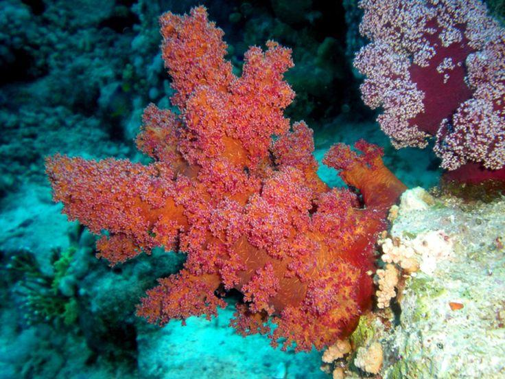 coral, corals, coral reef, reef, coralli, barriera corallina, under the sea, abissi, abiss, colour, wonderful, mare, oceano, ocean, sea life, fondale, marino, fondale marino