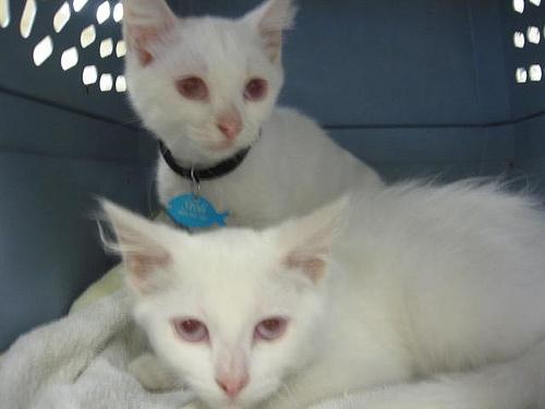 Albino cats | ALBINO OR ALL WHITE ANIMALS | Pinterest