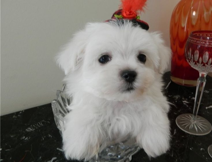 Maltese puppies for sale 500 maltese puppies for sale