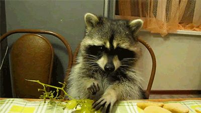 This is how all raccoon's should behave