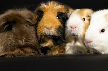 Porcellino d'india: alimentazione e gabbia - Animali dal Mondo