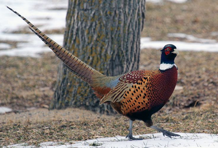 Ring Neck Pheasant by sgt-slaughter.deviantart.com on @deviantART