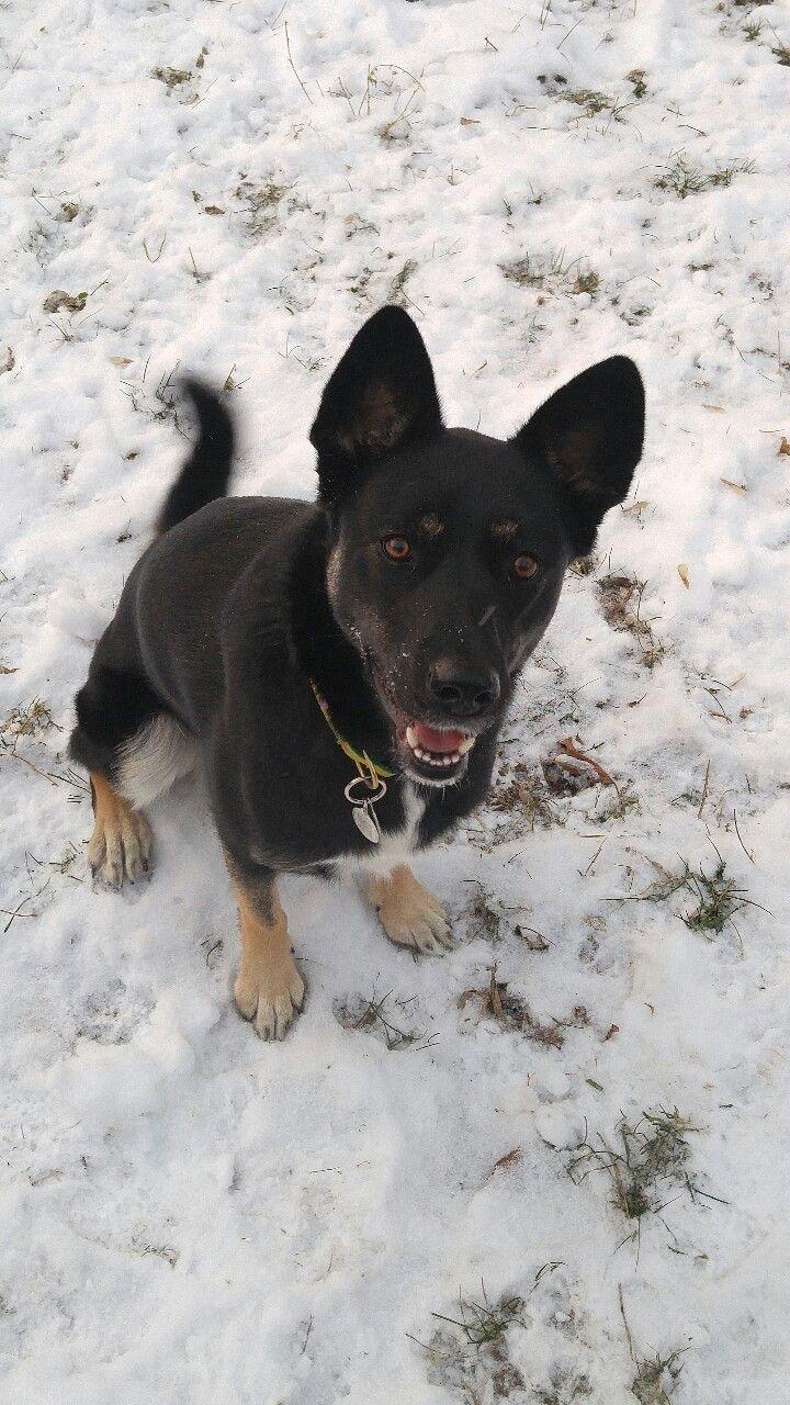 Abbey, the snow loving German Shepherd-Husky mix :)