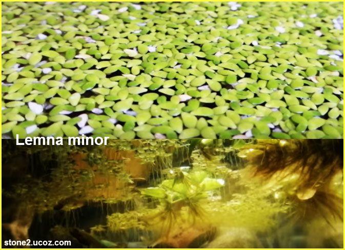 انواع نبات اللمنة او عدس الماء Lemna قوائم النبات قوائم النبات معلومان عامه معلوماتية Vegetables Celery