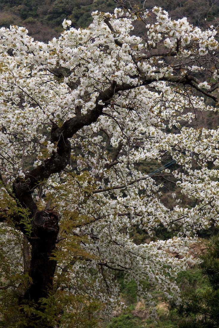 """""""壱岐の山桜""""  06.Apr.2017  個人宅の入り口にある素晴らしい山桜。それでも、ヤドリギがつき枝を落としたらしい。"""