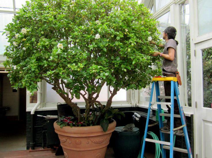 Best Job Ever Gardenia Deadheading New York Botanical