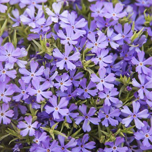 Violet Pinwheels Phlox – Groundcover | Spring Hill Nurseries