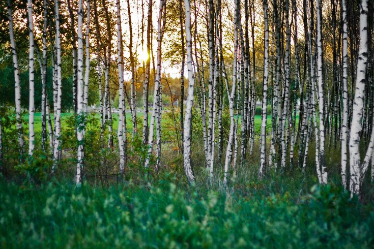 #birch #bright #countryside #dawn #environment #fall #forest #grass #green #growth #landscape #leaf #lush #outdoors #park #rural #season #sun #sunset #tree #trees #wood #woods