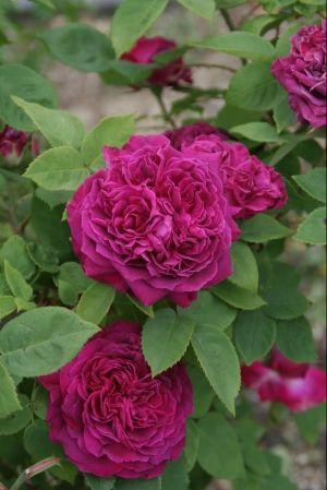 Portland Rose: Rosa 'Arthur de Sansal' (France, 1855)