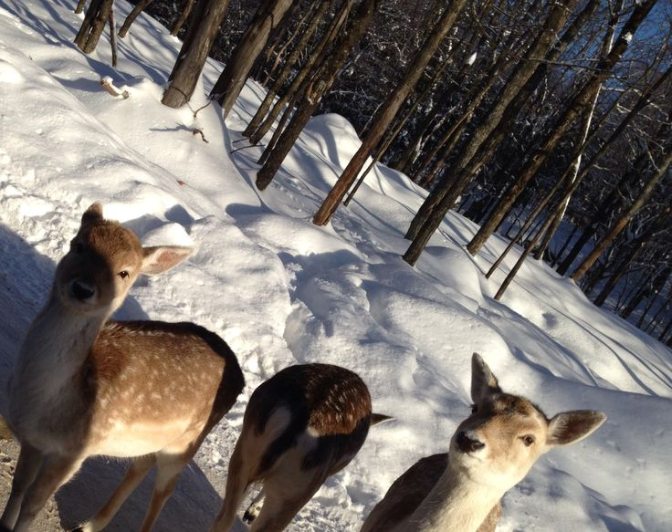 A group of white tailed dear.!