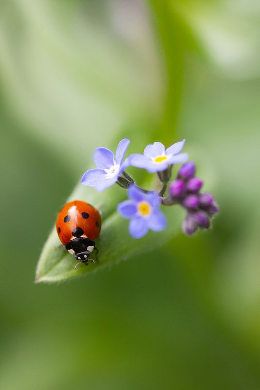 Ladybug and Forget-Me-Nots
