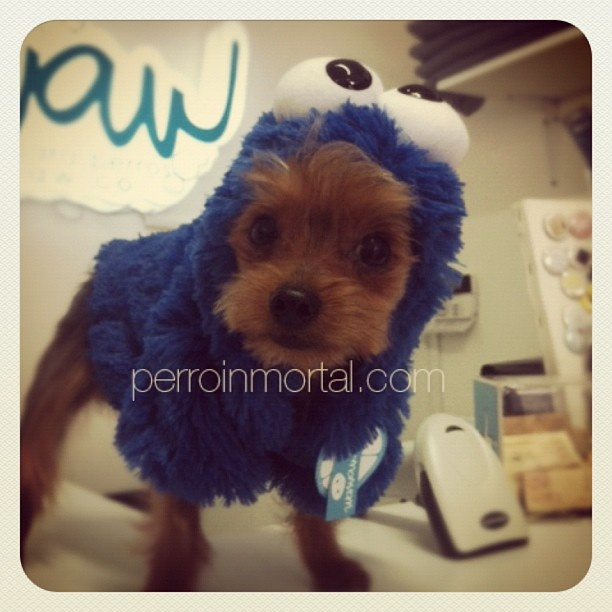 Dexter, #yorkie , también aprovechó para llevarse un disfraz de #cookiemonster .