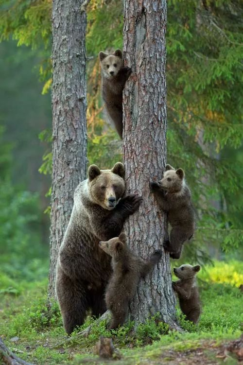Bear Family....Goldilocks...on the prowl...