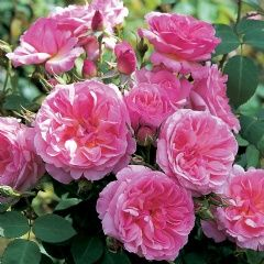 'Hyde Hall' (Ausbosky) - very large David Austin English Rose.