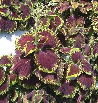 Coleus Plectranthus, cultivo y cura