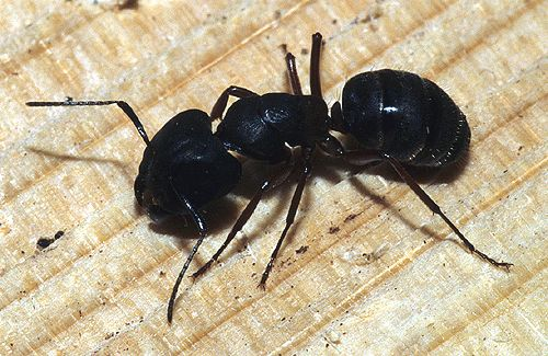 Identify big black ants, pictures of all spiders in georgia, fruit ...