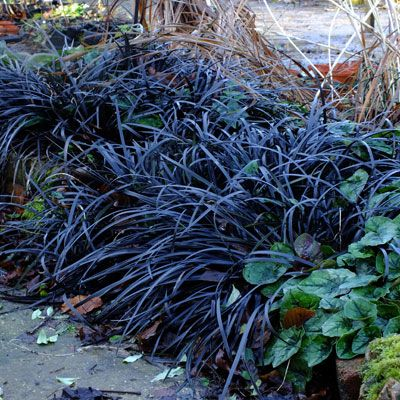 Image result for ophiopogon planiscapus nigrescens