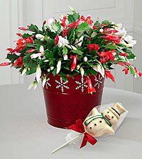 Christmas Cactus Merry Houseplants Background Love Wish You