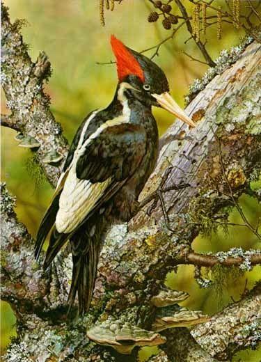 "Carl Brenders ""Ivory Billed Woodpecker"""