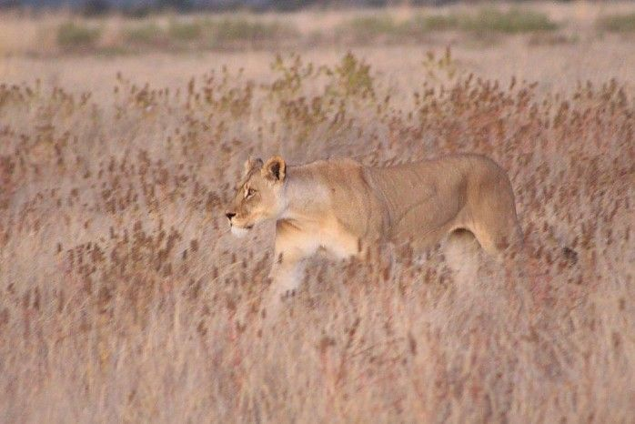 GuideTK and his guests had some wonderful sightings around Kalahari Plains recently, including oryx at Sunday Pan and lion and cheetah around Big Pan on the Matotse Run Road.