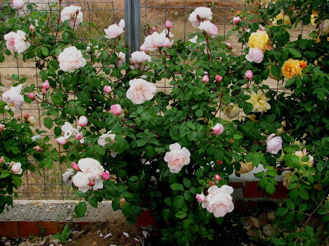David Austin Rose The Generous Gardener Toledo Spain