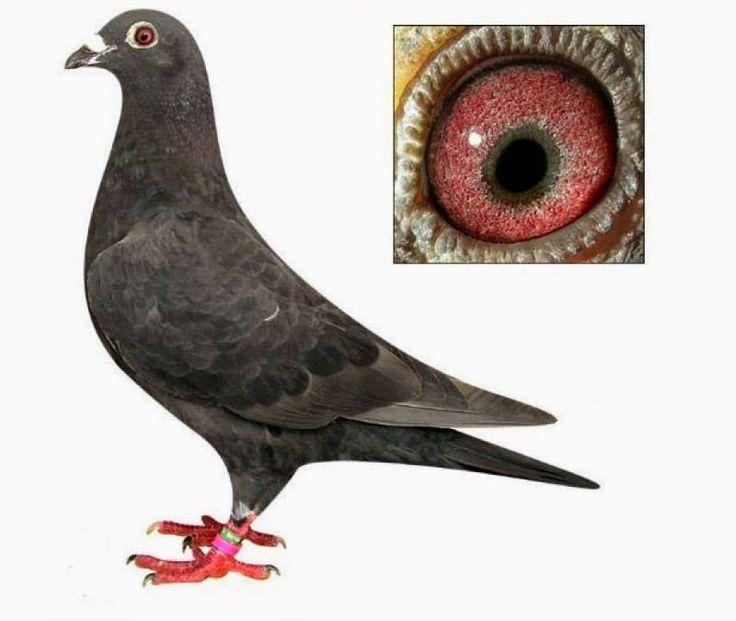Best 20+ Pigeon Diseases ideas on Pinterest | Dan and phil ...